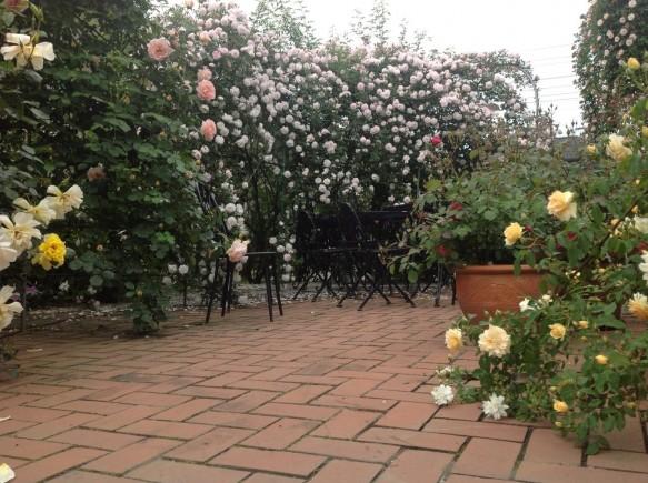 早咲き品種が満開です♪ 中咲き品種も見頃を迎えています♪ ワンちゃんを連れてのご来場者様が多くなってきております♪