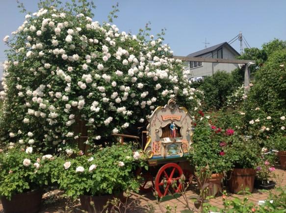 バラの開花に合わせ、ガーデン内に手廻しオルガンを設置し、空気のレトロな音色を奏でます♪