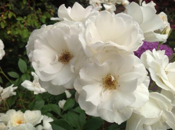 引き続き、名花アイスバーグが見頃・満開です♪