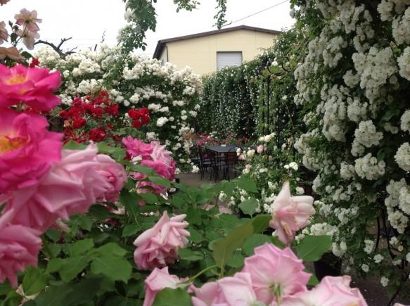 栗の里のバラは、これからが本番♪遅咲きバラ達の本領発揮です♪