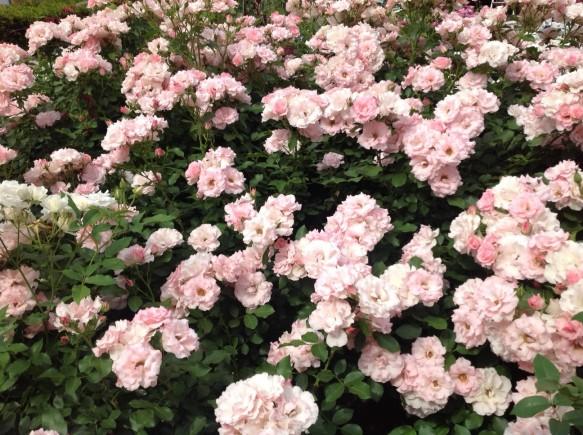 ピンクのフリル咲きが愛らしい、ローゼンドルフスパルスホープが満開です♪