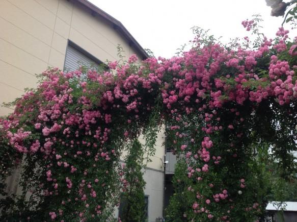 こぼれおちるくらいに、可愛らしいピンクの花をつけてくれます♪