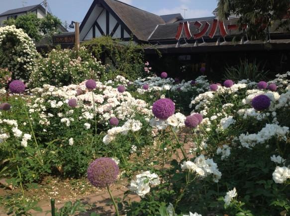 純白の名花「アイスバーグ」の上にギガンチュームが揺れる姿は必見です♪