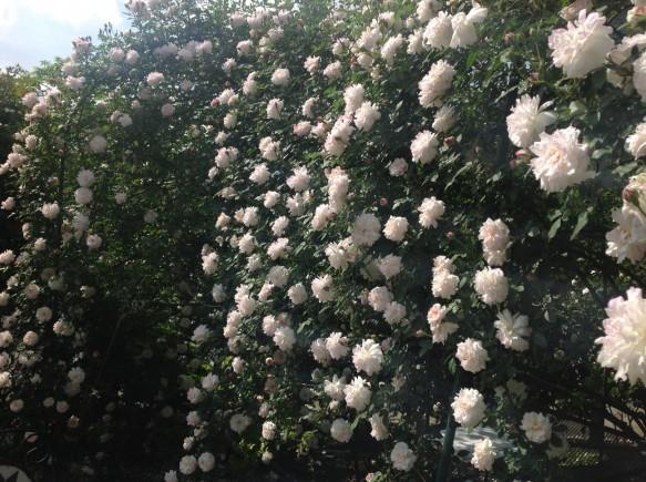 こぼれおちるくらいのバラの数♪ 神奈川県では、随一です♪