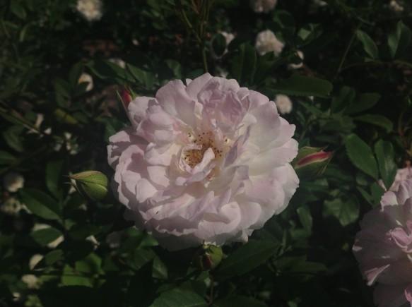 可愛らしく、そして、麗しいバラ♪ ロサキネンシスアルバ♪ 苗も販売中です♪