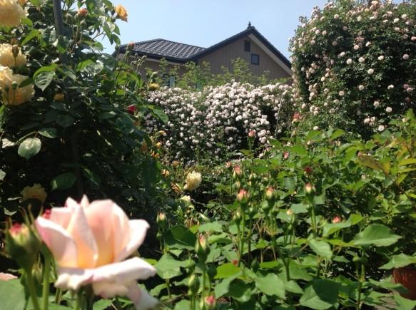 まだまだ蕾も多く確認でき、いよいよバラの季節という感じです♪