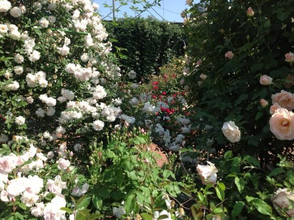 ローズガーデン内では、次々にバラが開花しています♪