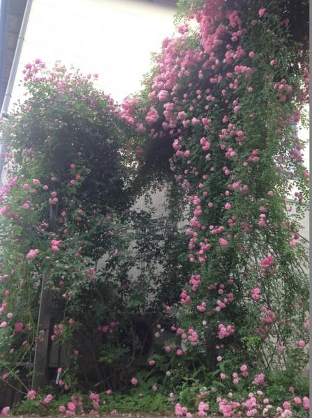 枝垂れバラの代表格「ドロシーパーキンス」が見頃となっております♪ 高さを活用した仕立て方は必見です♪