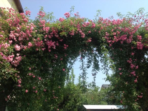 遅咲き品種「ドロシーパーキンス」が咲き出しました♪
