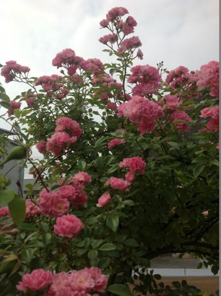 スタンダード仕立てで育てた「ザ・フェアリー」が見頃です♪ 可愛らしい花を無数につけています♪
