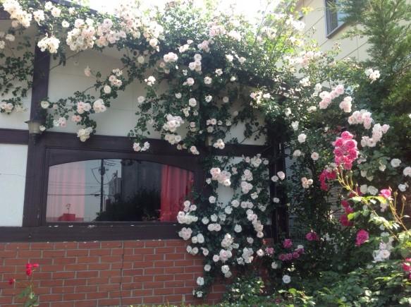 遅咲き品種「ニュードーン」が綺麗に咲いています♪