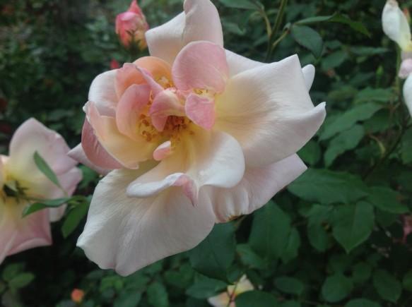 ビショップダーリントンも開花です♪