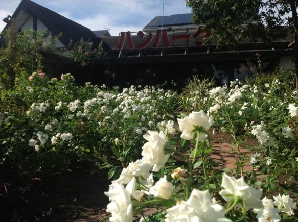 神奈川県内でも珍しい、夏バラが60種350株咲き誇ります♪