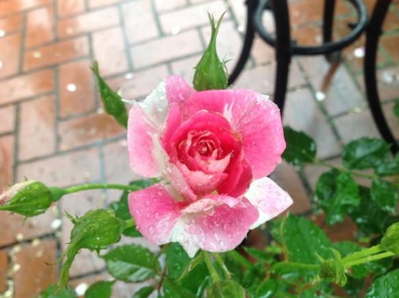 レーゲンスブルグが可愛らしく咲いています♪