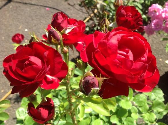 6月に入り、木立性の遅咲バラの開花が見受けられます♪