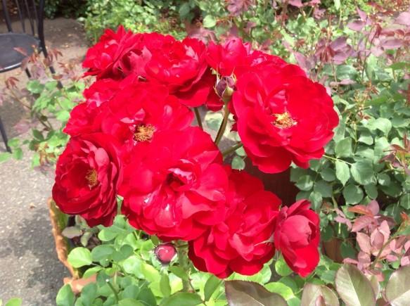 遅咲の真っ赤なバラがガーデンを彩ります♪
