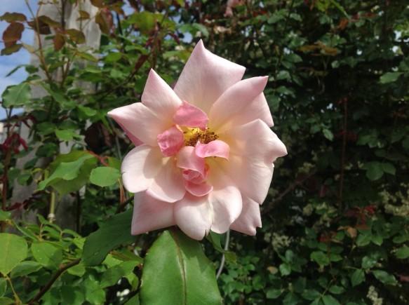 ビショップダーリントンの2番花が咲き出しました♪