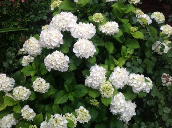 純白の紫陽花も見頃です♪
