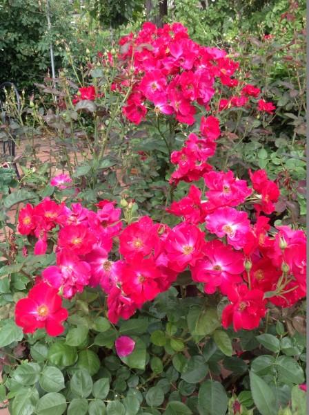 ダスキーメイデンの2番花が咲き出しました♪