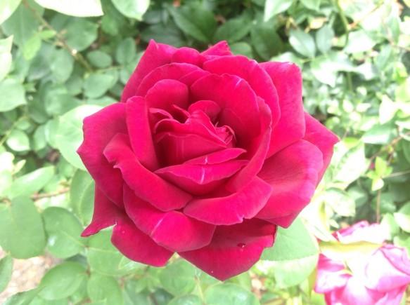 大輪系のバラの開花も見受けられます♪