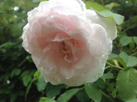 マダムアルファレッドキャリエールの2番花が咲いています♪