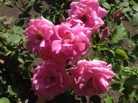ブーケ咲きピンクバラ♪