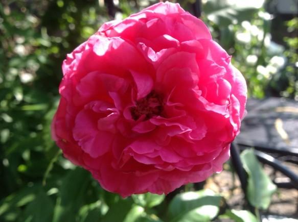 色鮮やかな、フリルピンク♪