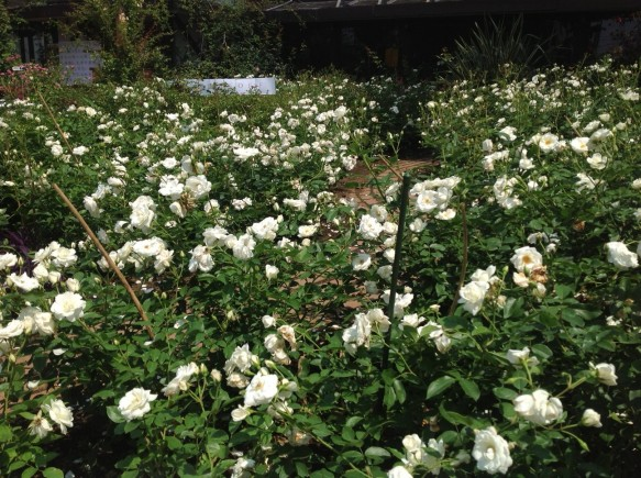 純白の名花「アイスバーグ」が次々に開花中です♪