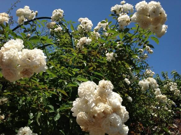 枝垂れ咲きが多く植栽されています♪