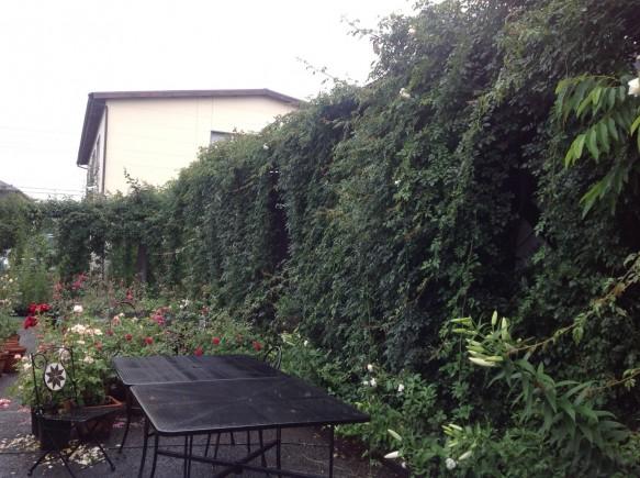 一季咲きのつるバラの新たな可能性「緑のカーテン(現在の様子)」仕様です♪