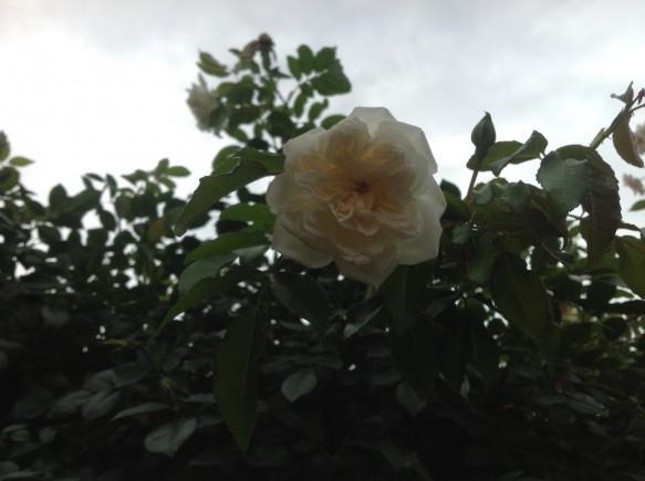 日本一認定となった「アルベリックバルビエ」が、 一季咲き(春しか咲かない)なはずですが、日本一を喜ぶように、咲いています♪