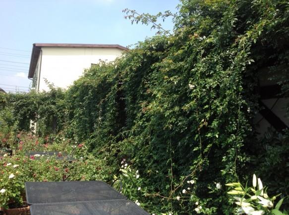 本日の「日本一長いつるバラのカーテン」の様子♪今の時期は、1日3cm程伸びています♪