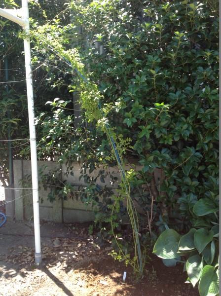 新しく、一季咲きのクリムソンシャワーを定植しました♪ 赤ピンクの小輪をこぼれおちるほどつけますよ♪