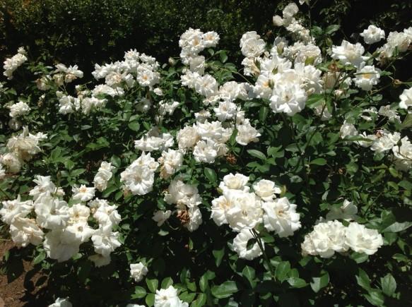 様々な品種が見頃です♪ 夏バラの香りをお楽しみください♪
