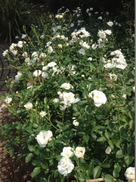 純白の名花「アイスバーグ」も順調に開花しています♪
