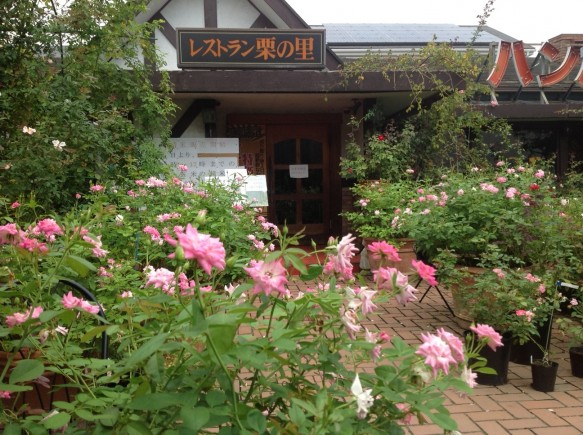 レストラン前を中心に、ブリリアントピンクアイスバーグが咲いています♪