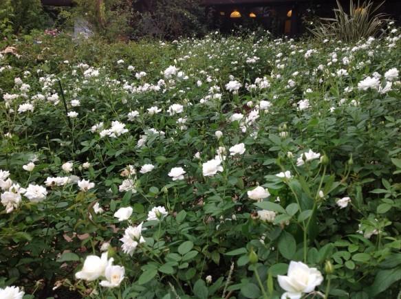 9月3日撮影 アイスバーグ200株開花♪ 純白のカーペットを散策下さい!!