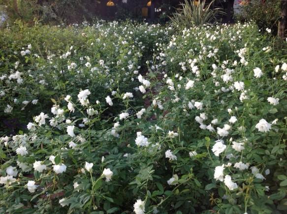純白の名花アイスバーグ♪