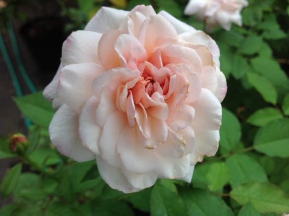花弁数が多いバラも美しい♪