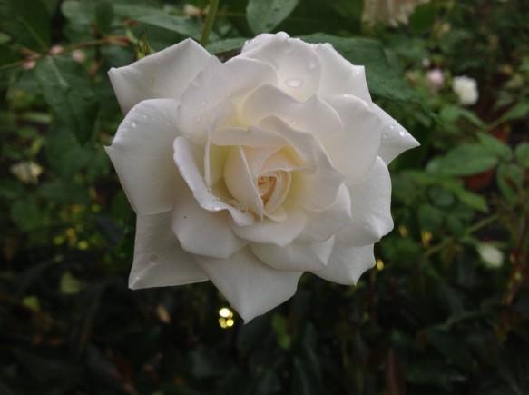 白バラと雫のコラボレーション♪