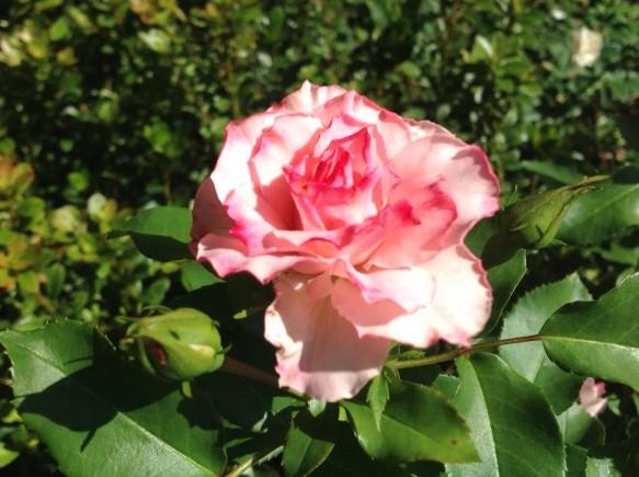 ローゼンドルフスパリスホープ♪ピンクフリル咲きで、人気種♪