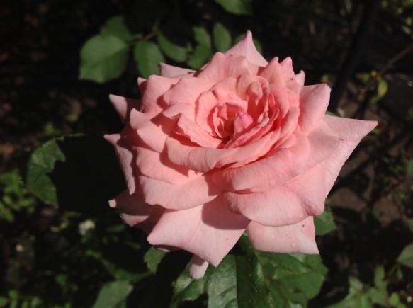 ブライダルピンク♪貴賓あふれる名花♪