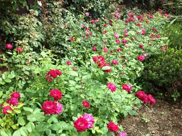 8月23日撮影 バーガンディーアイスバーグ60株開花中♪ 色鮮やかな赤紫のバラです♪