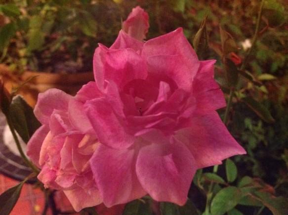 ブリリアントピンクアイスバーグが綺麗に咲いていました♪