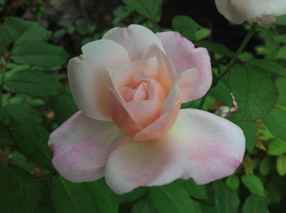 開きそうなバラ♪可愛らしいです♪