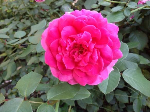 パレード♪良く咲く品種♪色も鮮やか♪