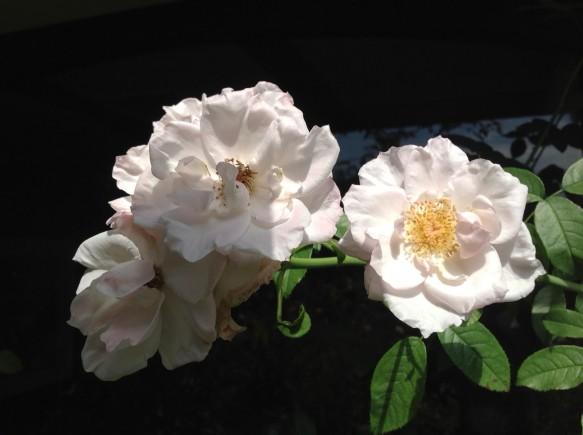 パールドリフト♪平咲きの可憐バラ♪