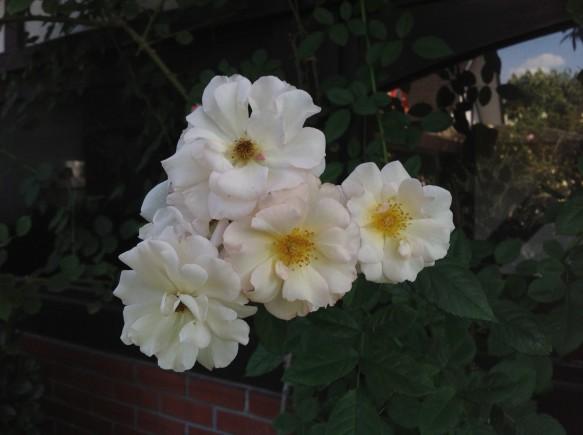 ぺネロープ♪白平咲きバラの王妃♪