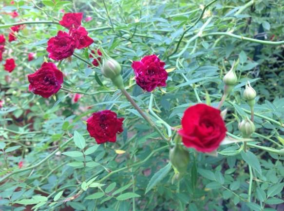 ミニバラも開花!!色鮮やかな赤♪