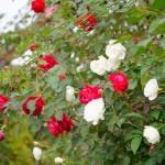 赤と白のバラが特に綺麗に鑑賞できるシーズンです♪